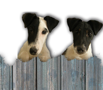McFox Smooth Fox Terriers
